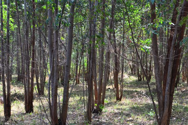 Masindi Centre for the Handicapped - woodlot donated by FOAG, ready for harvest